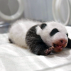 Giant Panda's baby born on August 14, 2018, is public debut now, and Adventure World is asking the internet to name new baby