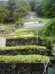One of Mr. Yuma Mochizuki' wasabi fields.