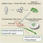 Stem Cell Reports: Focal Transplantation of Human iPSC-Derived Glial-Rich Neural Progenitors Improves Lifespan of ALS Mice