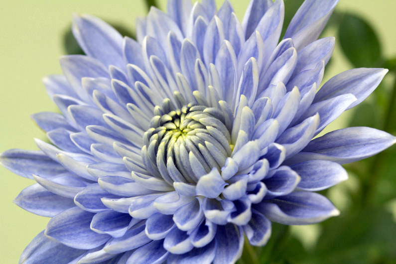 "A blue transgenic Taihei chrysanthemum. Scientists modified two genes to create the ""true blue"" flower. (Naonobu Noda/NARO)"