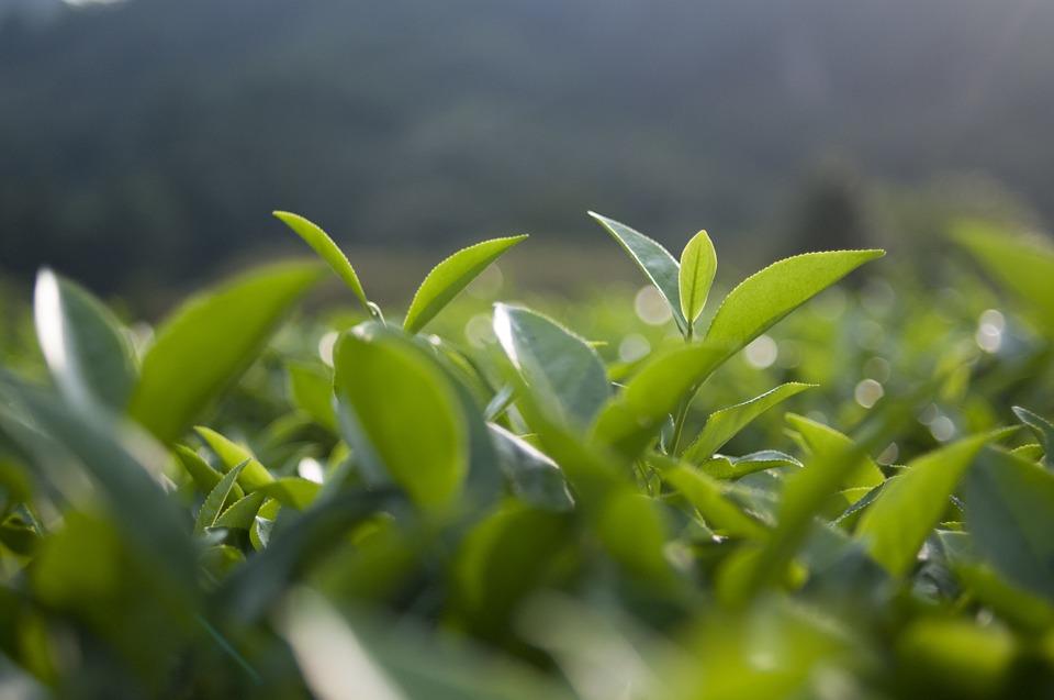green-tea-20170806