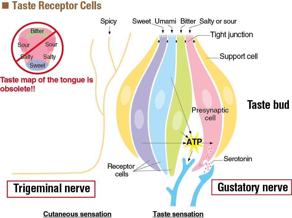 Taste Receptor Cells