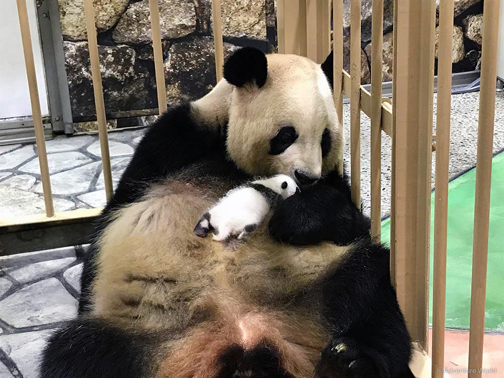 Adventure World: Panda Baby 01
