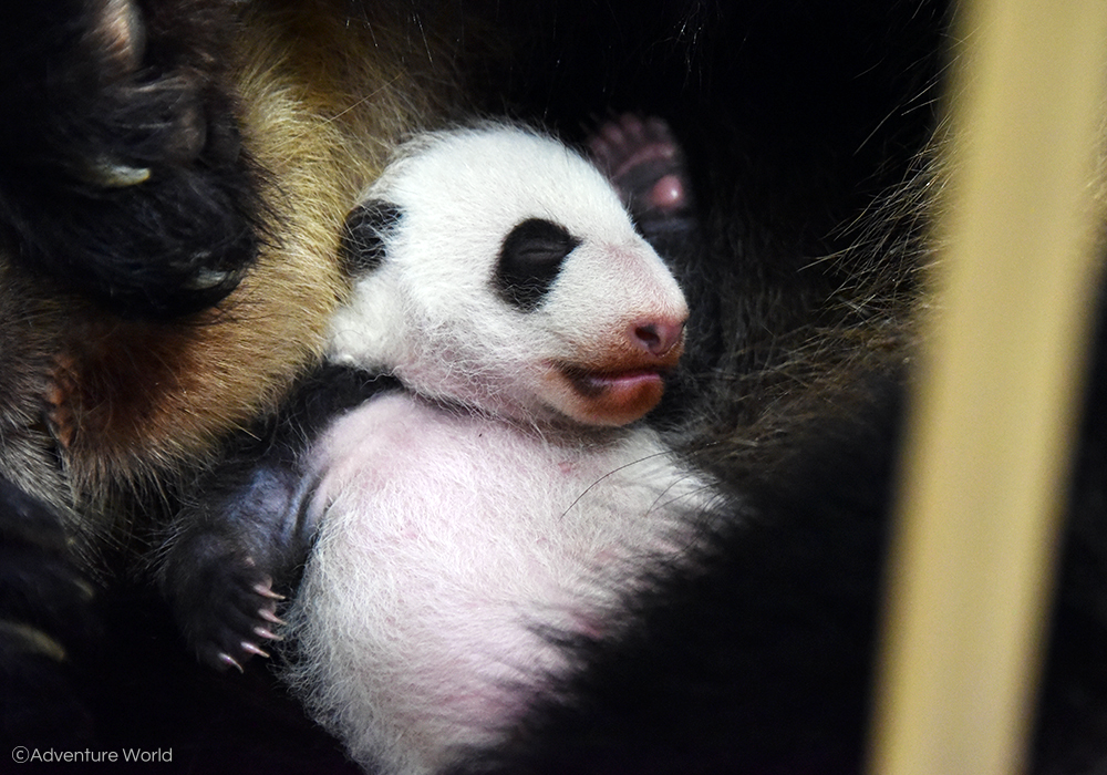 Adventure World: Panda Baby 04