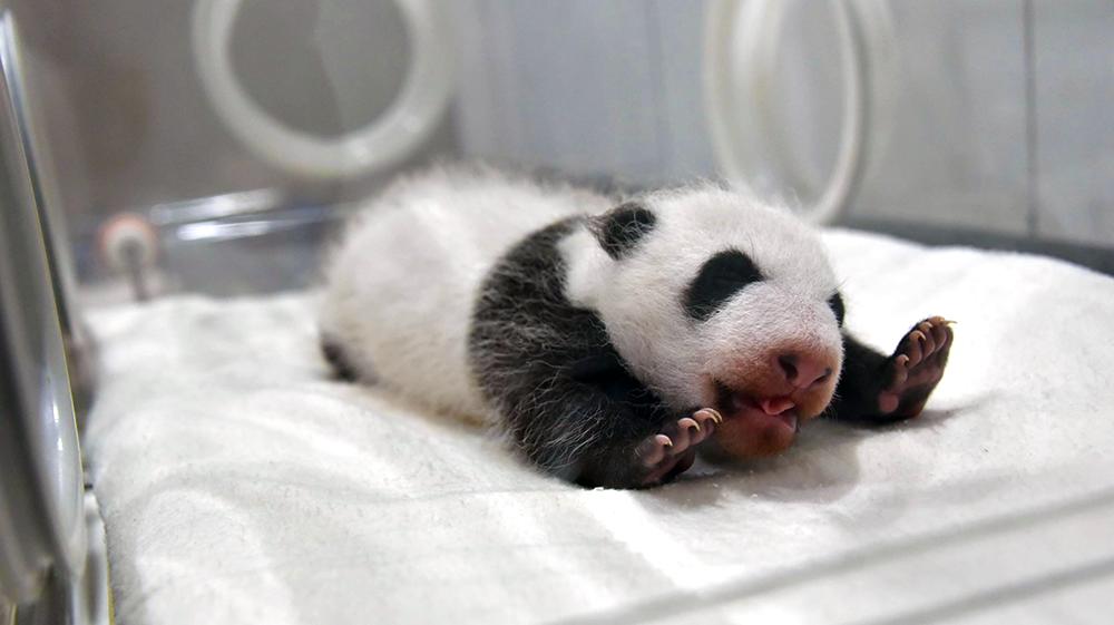 Adventure World: Panda Baby 06
